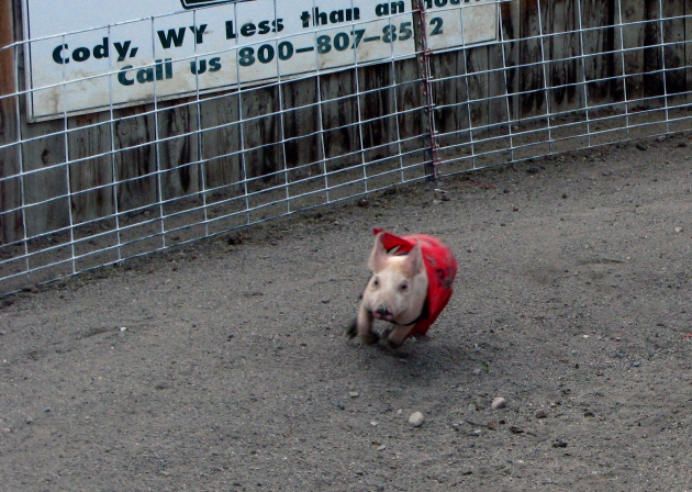 A little pig ripping... Bearcreek Saloon Pig Races
