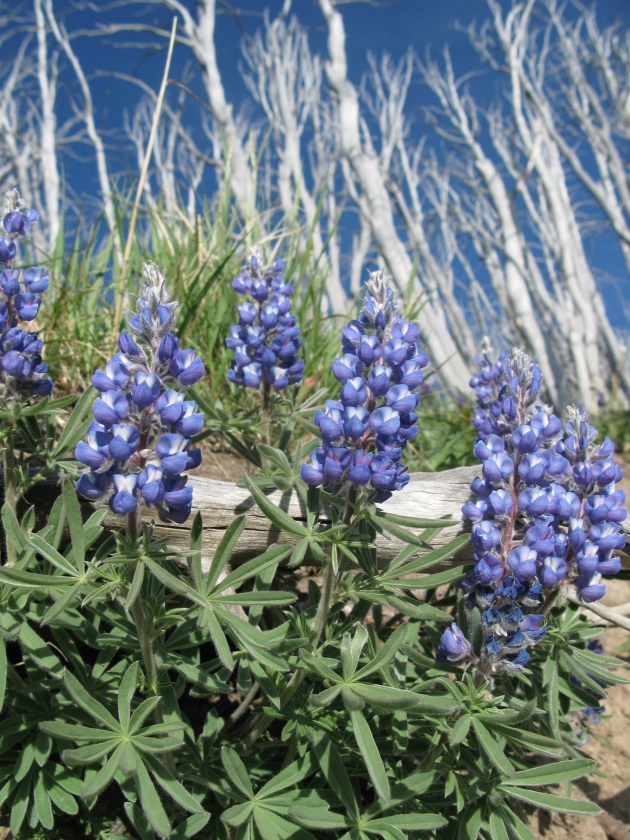 The Mountain Lupines were blooming quite nicely while we were up there.