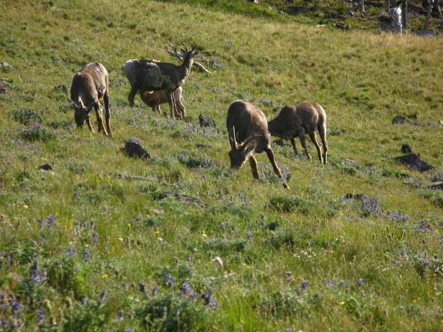 We encountered a herd of big horn sheep ewes on the way up.